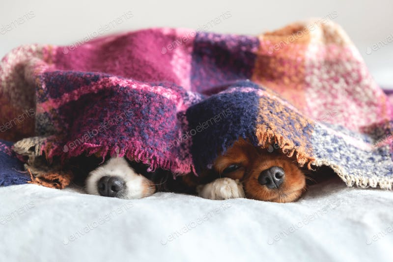 Two Dogs Playing Under A Colorful Blanket PSD.