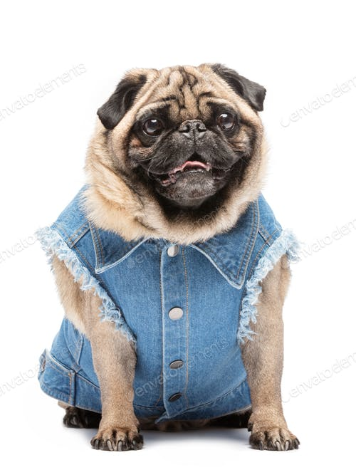 Pug In Fashionable Vest PSD.
